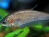 Notopterus Fish
