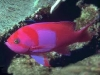 Red-Blue-Neon-Fish