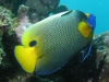 Yellow-Mask-Angel-Fish