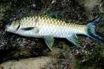 The Great Mahseer of Pakistan – A Fish of Dreams