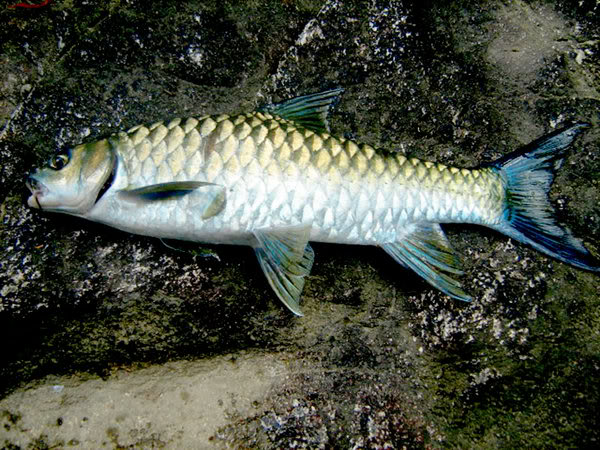 the great mahseer of pakistan a fish of dreams pakistan fishing