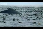 The future for humpback whales – BBC Planet Earth