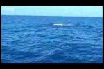 Black marlin – the fastest fish on the planet