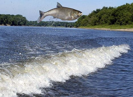jumping-asian-carp-Article.jpg